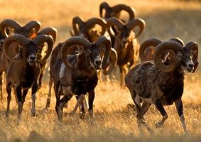 Coto caza mayor. Muflones ibericos. España