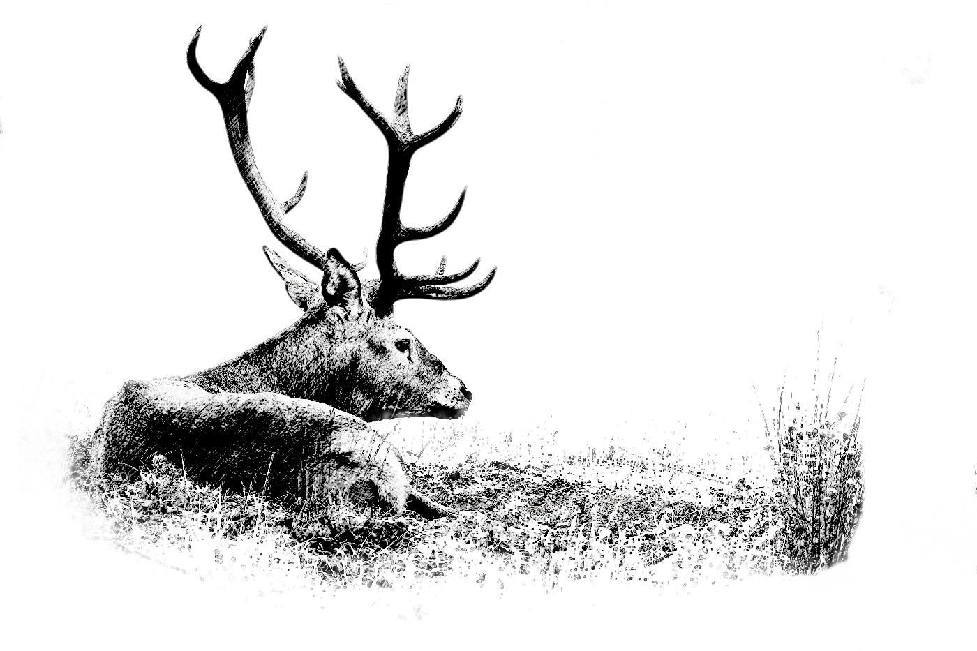 Coto de caza mayor España. Dibujo de ciervo iberico tumbado