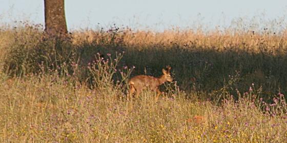 Especies de caza mayor. Corzo