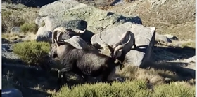 Especies de caza mayor. Macho montes. Ibex