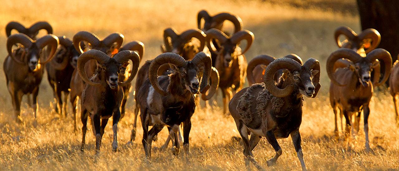 Especies de caza mayor