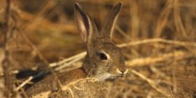 Especies de caza menor. Conejo