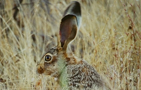 Especies de caza menor. Liebre