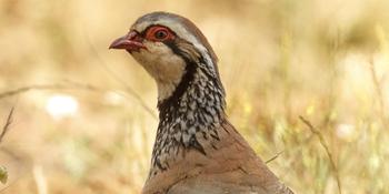 Especies de caza menor. Perdiz roja