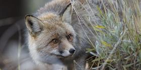 Especies de caza menor. Zorro