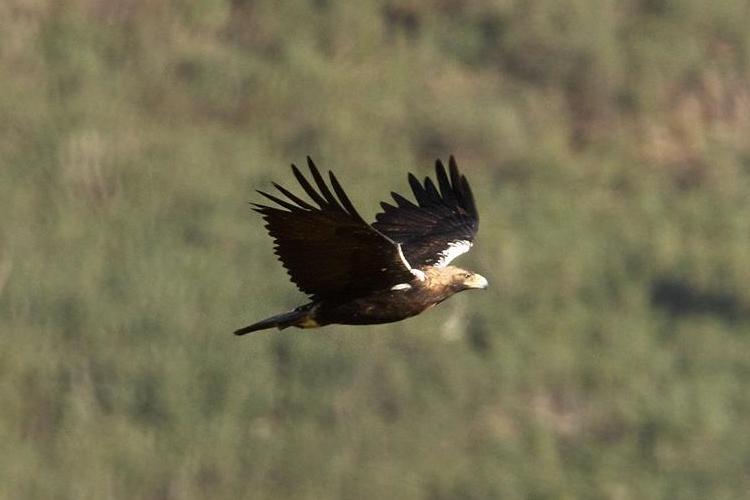 Observación de la naturaleza. Águila imperial