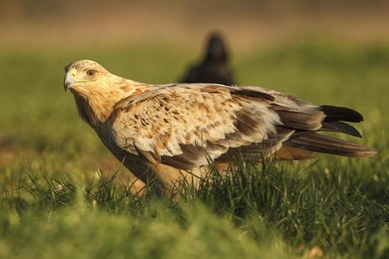Observación de la naturaleza. Águila
