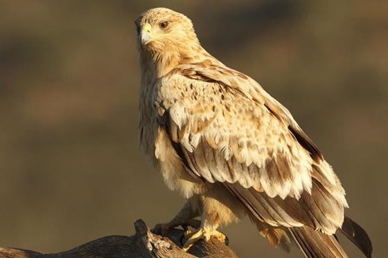 Observación de la naturaleza. Águilas