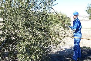 Tradiciones rurales. Vareando los olivos